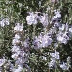 'Arp' Rosemary