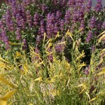 Mojave Sage & Yellow Pineleaf Penstemon