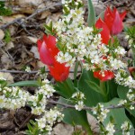 Western Sand Cherry & Red Fusilier Tulips