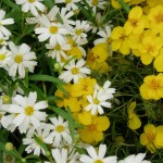 Blackfoot Daisy and Desert Zinnia