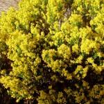 Turpentine Bush