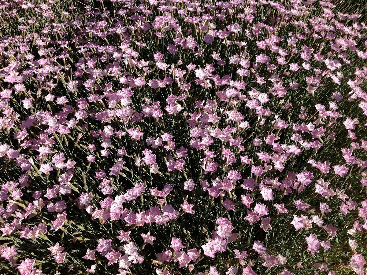'Bath's Pink' Dianthus
