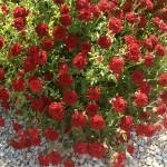 'Red Cascade' Rose