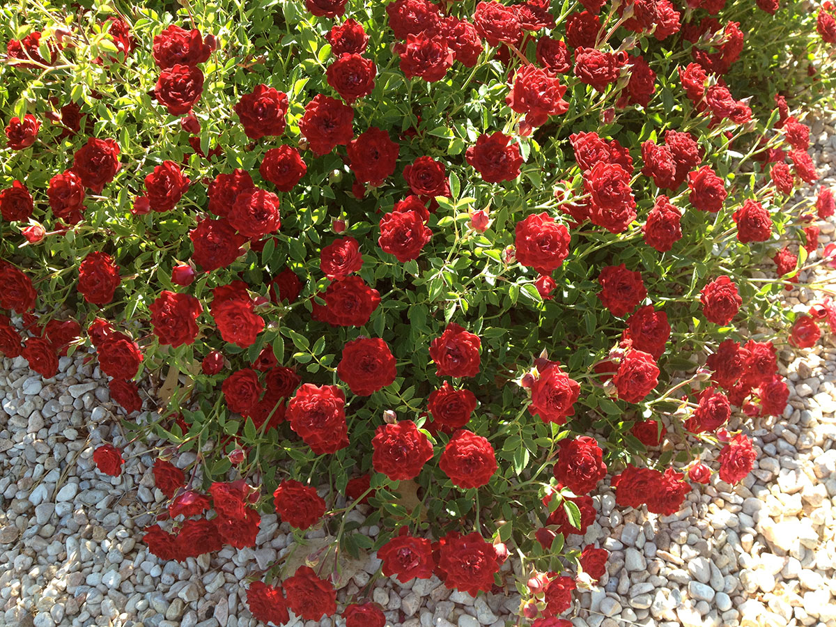 'Red Cascade' Rose