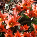 Red Fusilier Tulips