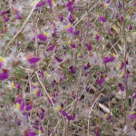 Feather Dalea