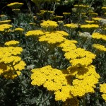 'Moonshine' Yarrow