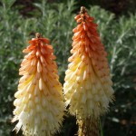 Torch Lily (Red Hot Poker)