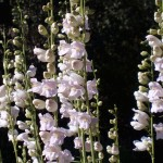 Palmer's Penstemon