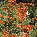 Hummingbird Trumpet Flower (Zauschneria)