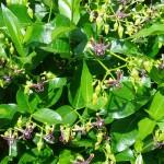 Silk Vine